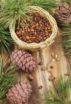 People Have Been Pine Nut Harvesting For Centuries. You Can Grow Your Own By Planting A Pinyon Pine And Harvesting Pine Nuts From Pine Cones. Snap This Article For More Information On When And How To Harvest Pine Nuts. Edible Wild Plants, Wild Edibles, Survival Food, Edible Flowers, Art Flowers, Edible Garden, Medicinal Plants, Kraut, Fruit Trees