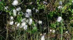 beautiful cotton plants Cotton Plant, Dandelion, Flowers, Plants, Beautiful, Dandelions, Florals, Planters, Flower