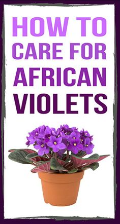 Learn how to grow healthy and beautiful African Violets!