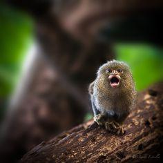 Pygmy Marmoset by Manny Estrella, via 500px