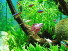 Betta Fish  community aquarium. Tetras and bettas look great together in a planted tank. plants also provide cover for the tetras if the betta starts picking on them. ☻