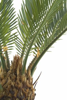 Sago plants are so lush and lovely that nobody can fault you for wanting more than one. Fortunately, your sago will produce offsets, which can be split from the parent tree and planted solo. Learn about separating sago palm pups in this article. Palm Trees Landscaping, Tropical Landscaping, Tropical Garden, Growing Tree, Growing Plants, Sago Palm Care, Pineapple Palm, Comment Planter, Palm Plant