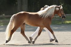 Top 12 Beautiful Horses In The World You Should Know - The horse is considered the most faithful friend of man, being used in wars in the ancient times, being used as a pet and for horse riding. Horses are. Caballo Haflinger, Haflinger Horse, Andalusian Horse, Friesian Horse, Most Beautiful Animals, Beautiful Horses, Campolina, American Saddlebred, Horse World