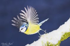 Abflug einer Blaumeise http://fc-foto.es/35297774