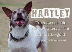 Today's featured Terrier/Heeler rescue mix for adoption, foster or sponsorship - Hartley!