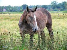 Ronzino -Durante il Medioevo con il nome ronzino ci si riferiva al cavalloche il servo dava al padrone per lo scudiero o per portare i bagagli e utilizzato per normali spostamenti.