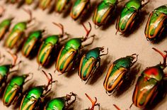 Scarab beetle collection, Carnegie Museum of Natural History. | +