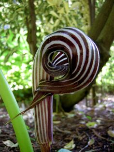The flowers of Farges's cobra lily (Asian jack-in-the-pulpit): Farges S Cobra, Striped Cobra, Lilies, Shade Garden, Lily Asian, Flowers