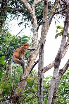 Photo 195   BEKANTAN -WILD INDONESIA