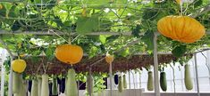 Growing fruits and vegetables vertically, [even pumpkins are tied with extra strong rope and are hanging down from a sturdy trellis at Epicot.]  --Britt Conley
