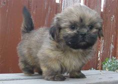 Akkkkkkk! ADORABLE brown Shih Tzu puppy. (This is exactly what Munchee looked like when we got him)! They call them the mood ring breed because they can changed color as the age.