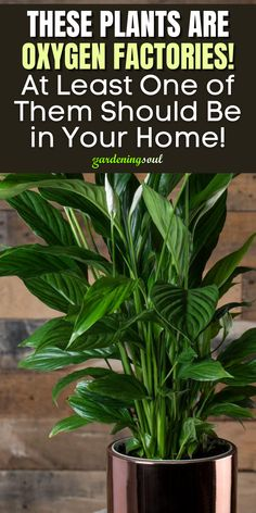 Shade Garden Plants, Air Plants, Best Indoor Plants, Indoor Garden, Container Plants, Container Gardening, Oxygen Plant, Best Air Purifying Plants, Household Plants