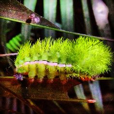 And fuzzy green things too. #caterpillar #costarica