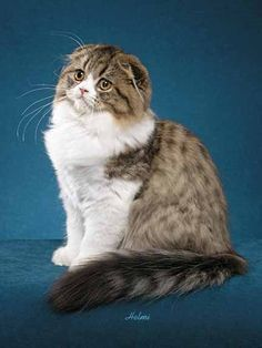 My next cat....scottish fold cat | Scottish Fold Cat standards | Top Cat Directory