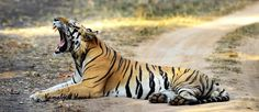 The famous Munna Tiger of Kanha National Park, India (The Celebration Van Vilas) www.celebrationworld.in
