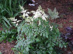 White astilbe in the shade garden