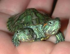 Embrace your quirks. 20 Life Lessons We Can Learn From Turtles And Tortoises Turtle Time, Pet Turtle, Cute Reptiles, Reptiles And Amphibians, Cute Baby Turtles, Red Eared Slider Turtle, Tortoises, Beautiful Creatures, Pet Care