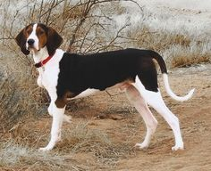 The Treeing Walker coonhound is kind and gentle. They are also trustworthy, intelligent and curious especially if there is something new that caught its attention. They also love to lie in your bed, sleep on the couch or just lay on the floor. They get along well with other dogs and other animals in the house.