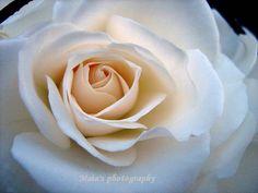 white rose macro - Google Search