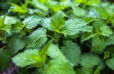 Moja Kobieca Natura - Pokrzywa zwyczajna - jedna z najcenniejszych roślin leczniczych