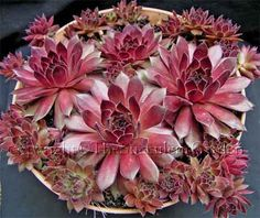 Sempervivum 'Pacific Red Rose'    Stunning olive green rosettes edged in crimson to 10cm wide, turning deep crimson in spring. Part sun/light shade.