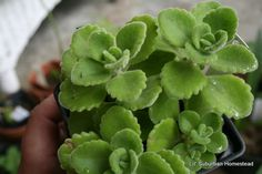 Cuban Oregano | Oregano Talks & The Ole' Saturday Homesteading Trading Post Ed. No ...