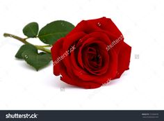 another reference for a painting:  stock-photo-a-single-red-rose-lay-down-on-white-table-