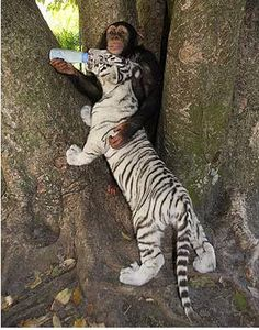 Pygmy Tiger