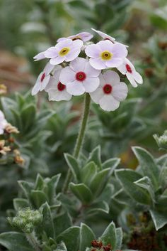 Primula 'Woolly Rock Jasmine' - is this white enough to qualify for my white garden? Alpine Garden, Alpine Plants, My Flower, White Flowers, Beautiful Flowers, Beautiful Gorgeous, Rockery Garden, Garden Plants, Gardening Vegetables