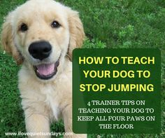 One of the most common behavior problems that can end in a dog being surrendered to a shelter is JUMPING! Jumping is a major issue with young, small, and medium dogs. The thing is, this is natural behavior. So why do dogs jump? For the most part, dogs j