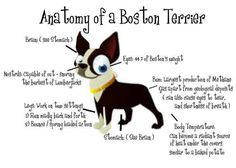 Anatomy of a Boston Terrier
