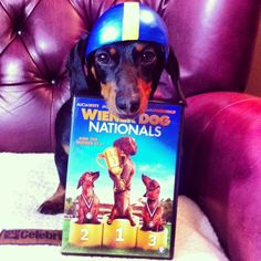 Wiener Dog Nationals Movie Review July 7, 2013 - by Crusoe - The Viewing Experience:  Firstly, before we even popped in the movie to watch it, Mum insisted that I put on my helmet. She knows how excited I get during my wiener dog races, so thought it best I wear a helmet in case I get too rowdy.