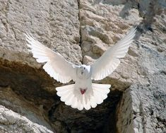 Pray For the Peace Israel and make there be peace in Africa and the Middle East.just peace in the ancient and modern world. Cultura Judaica, Arte Judaica, Heiliges Land, Dove Flying, Saint Esprit, White Doves, Holy Land, Beautiful Birds, Holy Spirit