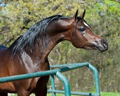 Infinity RCA by Bellagio RCA x Kamil FA by Thee Infidel 2009 Bay Egyptian Arabian Colt 2011 Egyptian Event Bronze Junior Champion Colt Arabians Ltd. Junior Stallion. The page is filled with beautiful Arabian get by Bellagio.