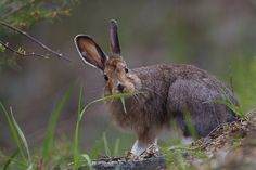 This Snowshoe Hare in summer looks like he knows he's being watched.