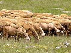 Lacaune Ovce Obrázky