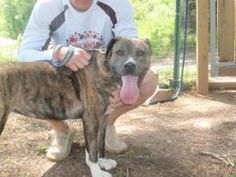 Dana is an adoptable Plott Hound Dog in Dahlonega, GA. Dana is a spunky mix who is also quite the athlete. She literally climbs fences with outstanding dexterity. She is not at all cat-friendly, so if...