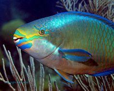 Google Image Result for http://ronlucasphoto.smugmug.com/Underwater/Reef-Portraits-Bermuda/Queen-Parrotfish-Macro-Bda/257869392_7GUjr-M.jpg