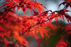 Tree In Passion. Japanese Maple by Jenny Rainbow Art Prints For Home, Home Art, Fine Art Prints, Framed Prints, Rainbow Photography, Fine Art Photography, Pinterest Images, Metallic Prints, Autumn Nature