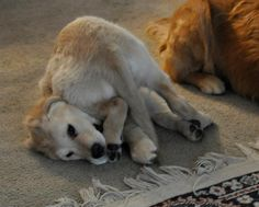 Isaiah Comfort Dog being silly! #k9comfortdogs #dogs #puppies