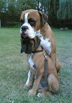 Looks like this Boxer found the perfect headrest. and it's another Boxer! Your dog is a member of your human family and may even have a family of his or her own. Boxer Breed, Boxer Dogs, White Boxer Puppies, Boxer Dog Quotes, Cute Puppies, Cute Dogs, Dogs And Puppies, Doggies, Baby Animals