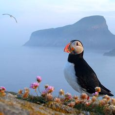 A beautiful Puffin surrounded by beautiful nature.