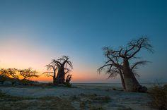 Stunning Baobab trees. makgadikgadi. Mark Dumbleton