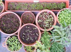 Het smulbalkon groeit gestaag. Biet, wortel en rucola, plus tuinkruiden qua usual suspects