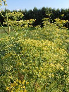 FONOLL DE FLORÈNCIA – Foeniculum vulgare var. Azoricum –  Hinojo – Aneth doux – Fennel