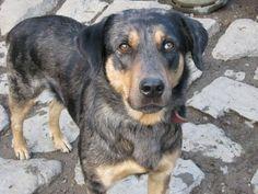 Berger de savoie / berger des alpes Rare Dog Breeds, Rough Collie, Sheltie, Hunting, Dogs, Poodle, Alps, Animaux, Plott Hound