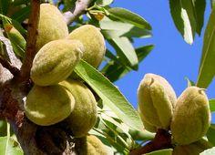 Pregon Agropecuario :: UNA APUESTA RENTABLE: EL CULTIVO DE FRUTOS SECOS - Frutihortícola - Frutos Secos