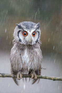 Owl in the rain looking sad.