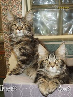 Maine Coon Kittens For Sale - Kittens