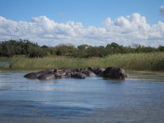 St. Lucia estuary - hippo and croc tour
